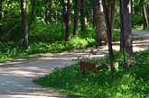 Deer by Bike Trail in the Woods